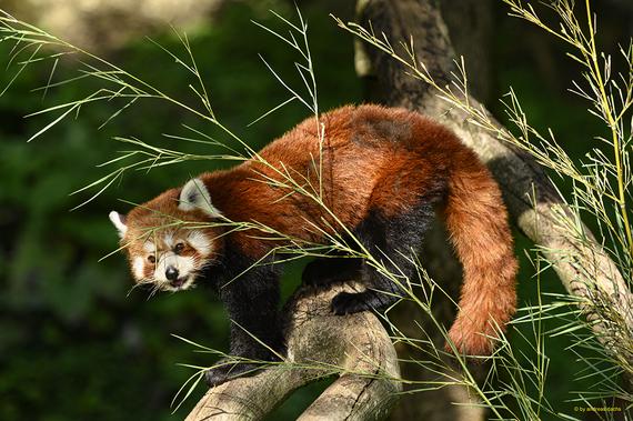 Roter Pander (Katzenbär oder auch Kleiner Panda)