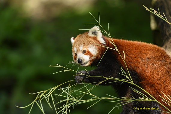 Roter Panda (Katzenbär oder auch Kleiner Panda)