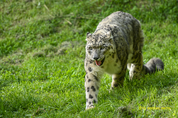 Schneeleopard (Panthera unica)