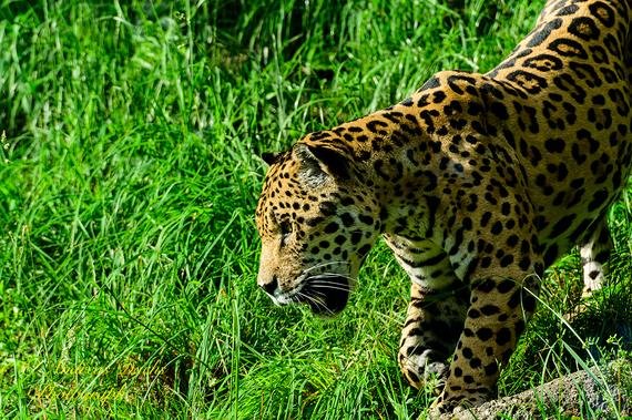 Jaguar  (Panthera onca) Tiergarten Hellbrunn