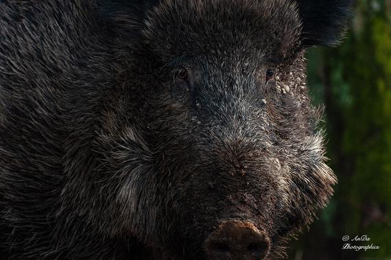 Wildschwein (Sus scorfa)